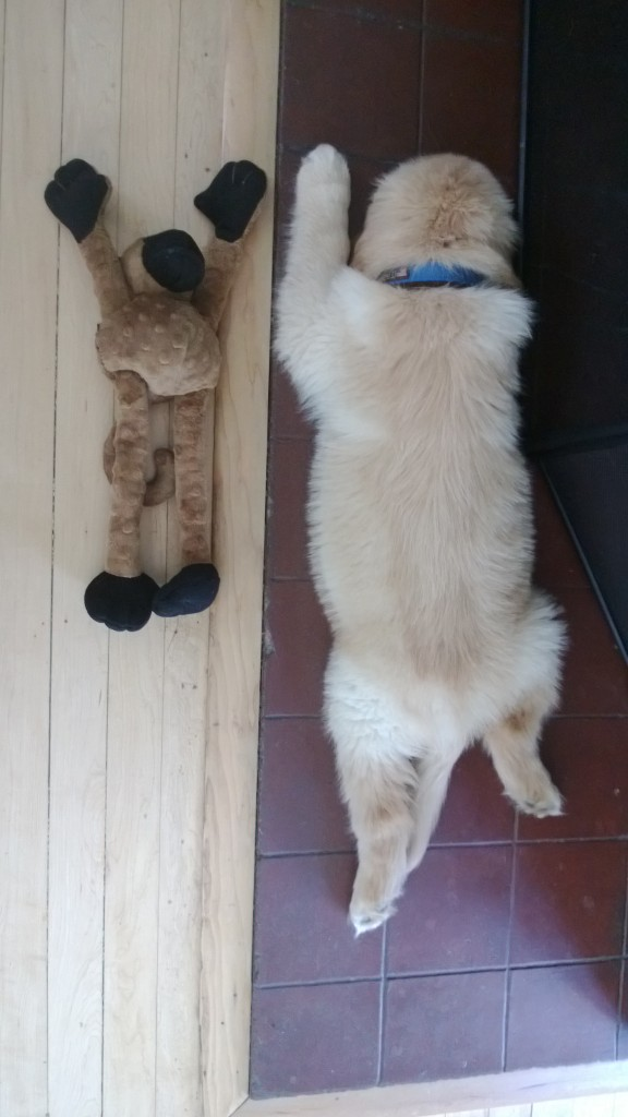Even though he's got tummy troubles, he's still a growing puppy. He used to be the same length as the monkey.