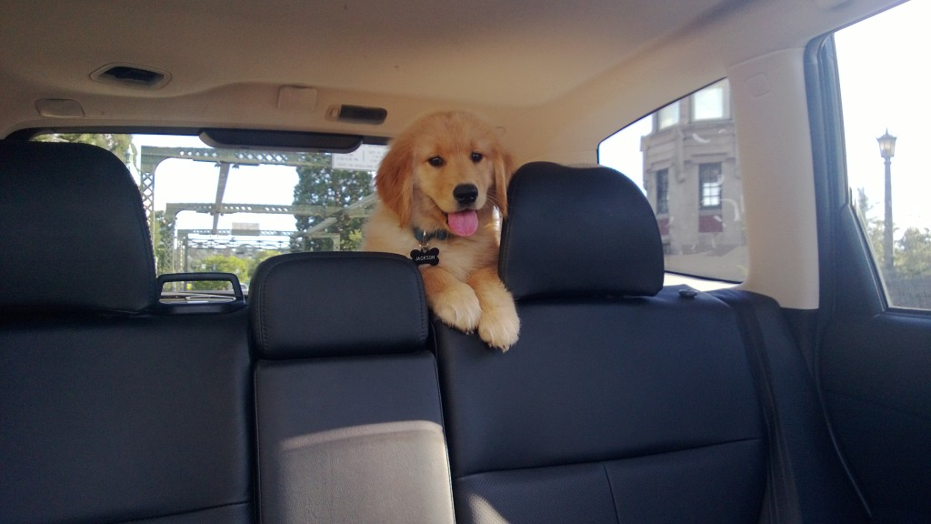 Riding in the back of the car like a good puppy!