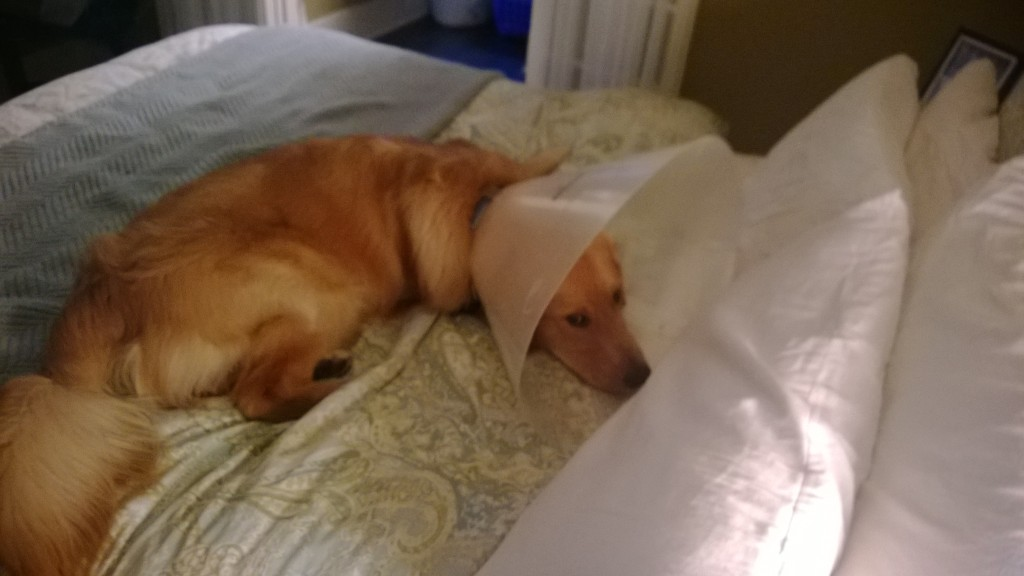 Coned dogs get to go on the bed.