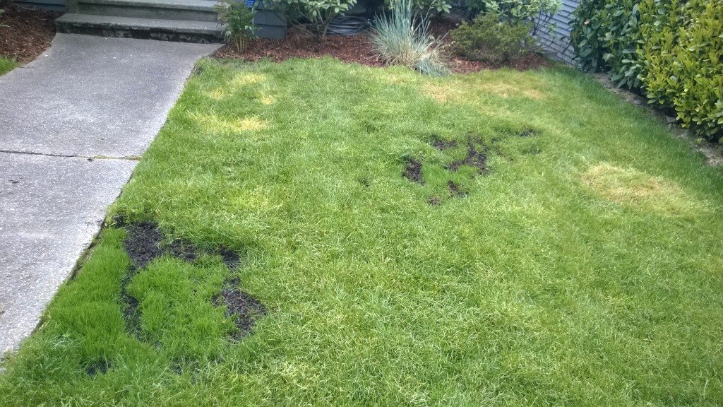 Our grass seed is coming in SO well - we re-seeded these patches over the weekend and will soon pull out the rest of the crabgrass that has taken over our yard and replace with seed.