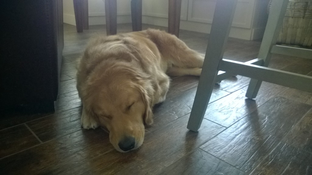 {after a long day of being a winery dog, Jackson came back and passed out for the evening}