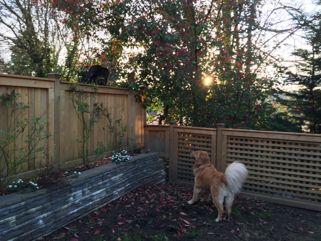 {Henry running along the fence while Jackson follows along from inside the backyard.}