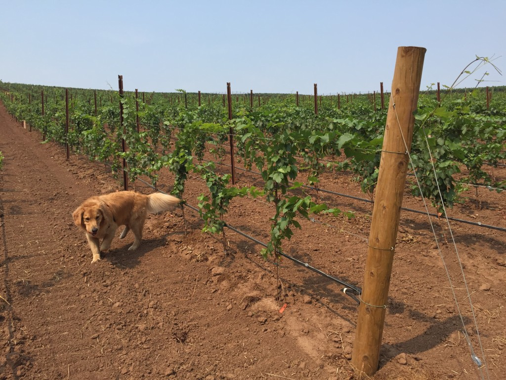 {This guy is secretly a winery dog...}